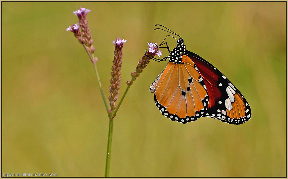 photoblog image Butterfly ( African Monarch )